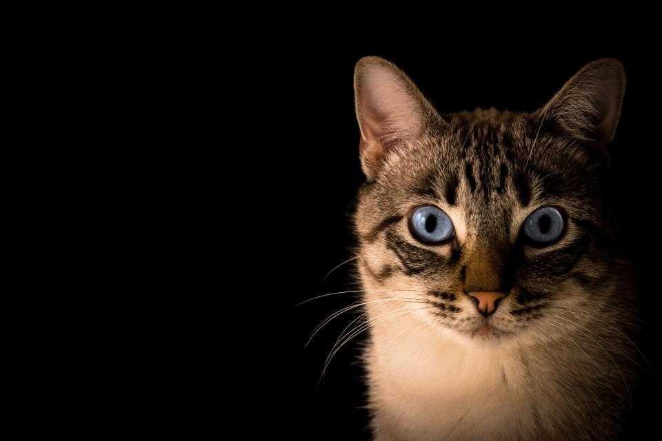 Tips Till Dig Som Vill Skaffa Katt Kattklubbenarctica E